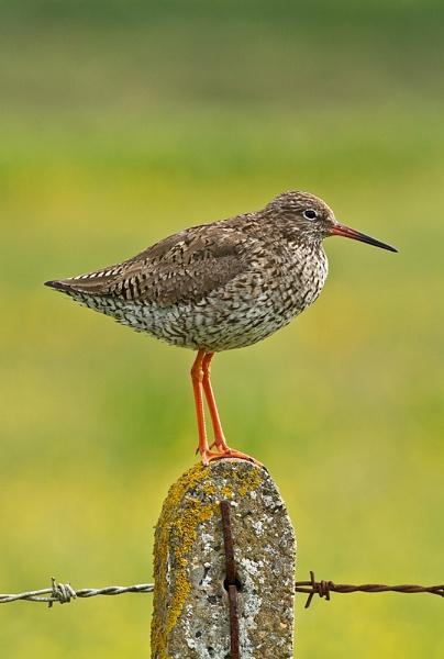 Redshank by JohnoP