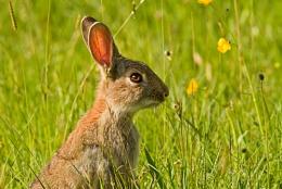 Hebridean Rabbit
