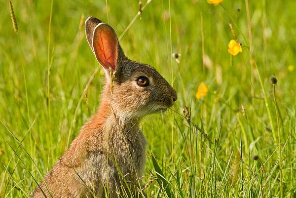 Hebridean Rabbit by JohnoP