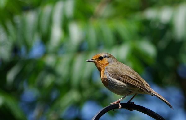 Robin by newty1