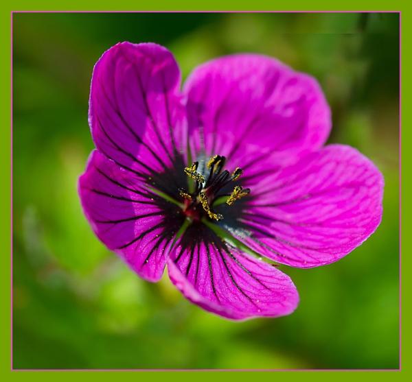 Geranium. by myrab