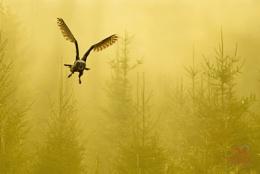 Eagle Owl - Ben Hall - Owls In Flight - Buba Buba