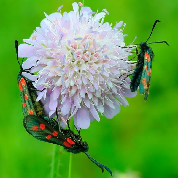 burnet moths by colin beeley