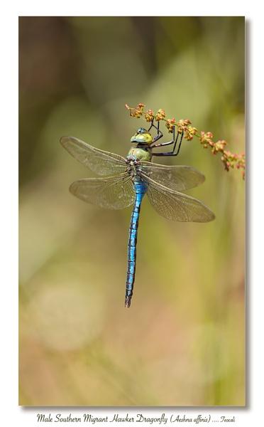 Male Emperor Dragon Fly