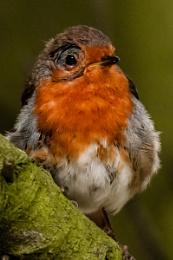 Molting Robin
