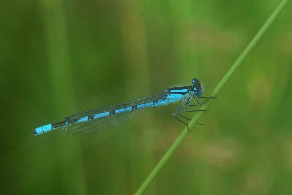 Common Blue Damselfly by TonyDy