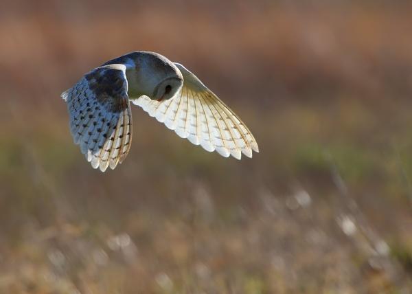 Backlit Barn Owl by Karen_Summers