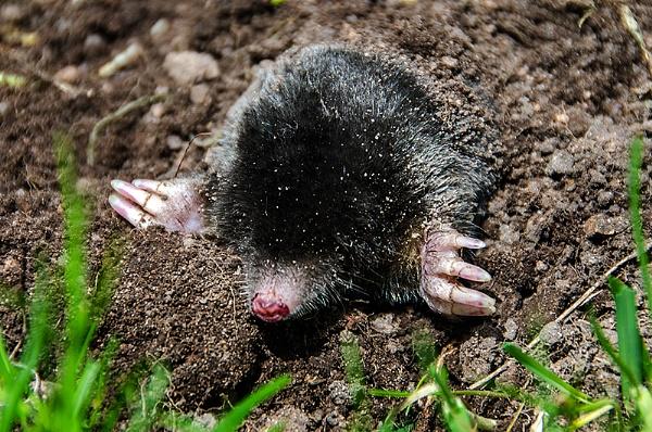Mole by icphoto