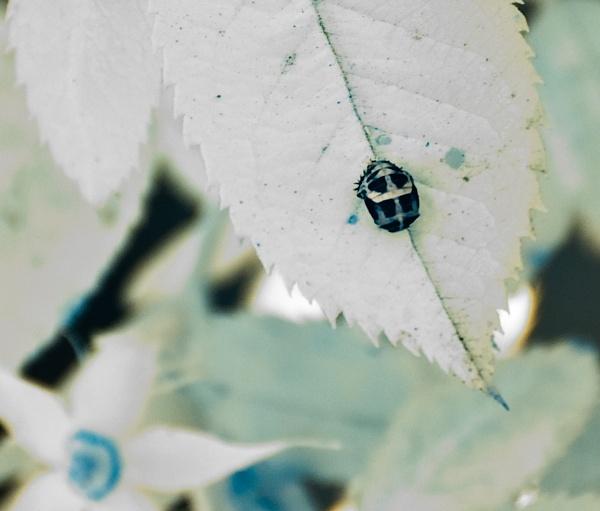 Ladybird Pupa by bugdozer