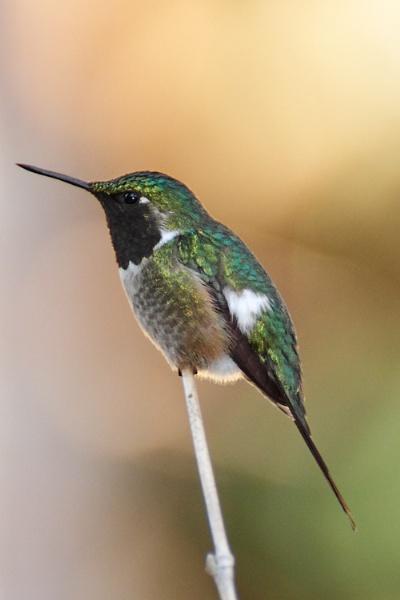 Hummingbird by luizdasilva