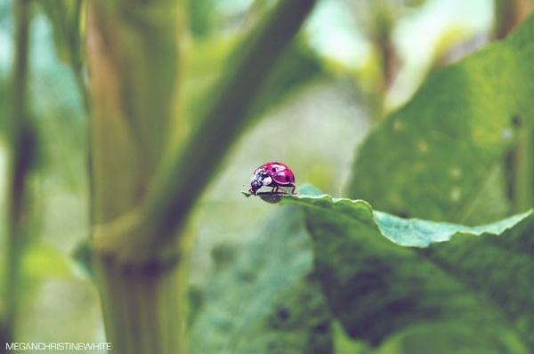 Ladybug by Meganwhitephotography