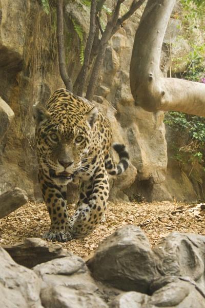 Jaguar by lj090876