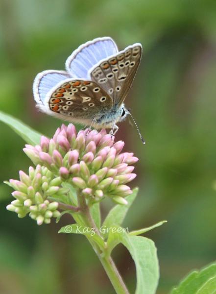 Male Common Blue by kaz1