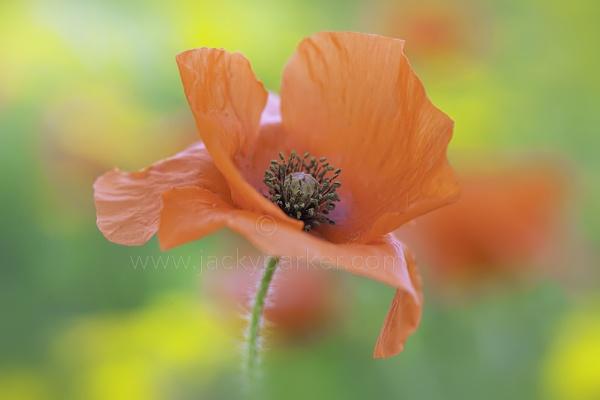 Field Poppy by jackyp