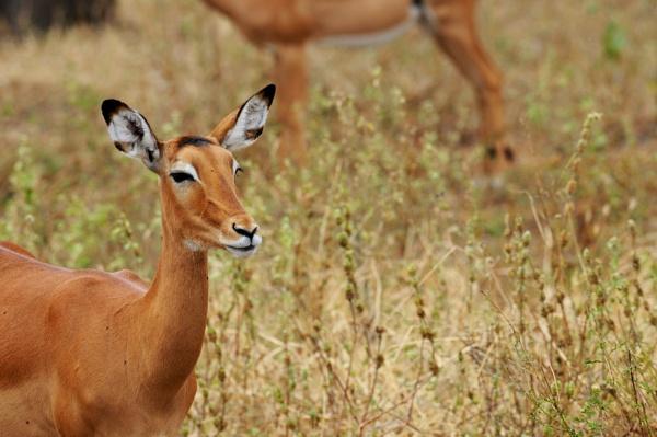 Grants Gazelle by StuartDavie