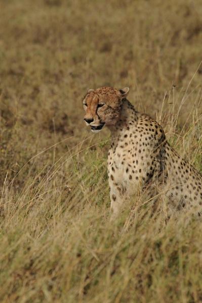Cheetah in The Serengeti by StuartDavie