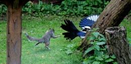 Squirrel V Magpie