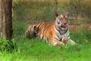 """Tigress  'Maaya'  From   """"TADOBA ANDARI TIGER RESERVE"""" by bommalu"""