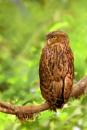 brown fish owl (Bubo zeylonensis or Ketupa zeylonensis) by bommalu