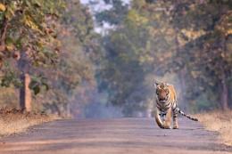 Tigress -Walking.