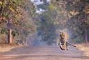 Tigress -Walking. by bommalu