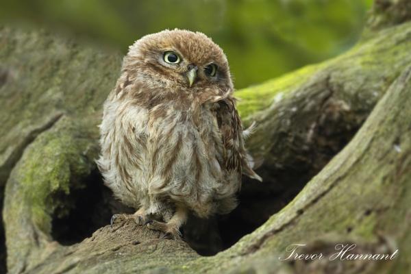 Owlet by trevrob