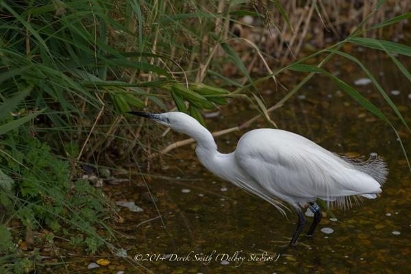 Little Egret. by 10delboy