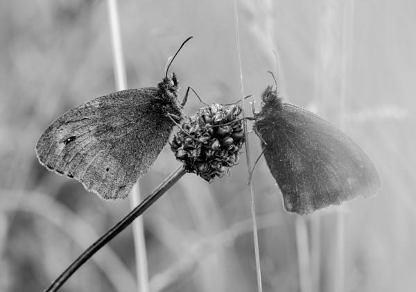 Let\'s Dance, Meadow Brown Butterflies by gerainte1