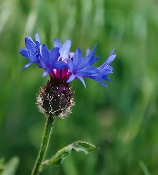 Small blue flower by hosak