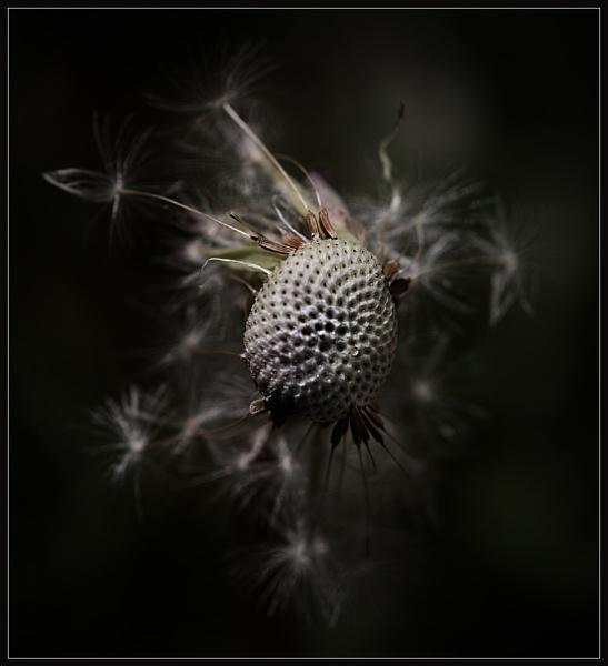 Dandelion by Morpyre