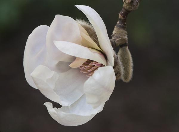 Mid Winter Magnolia by Ycmah