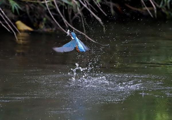Kingfishers by DerekL