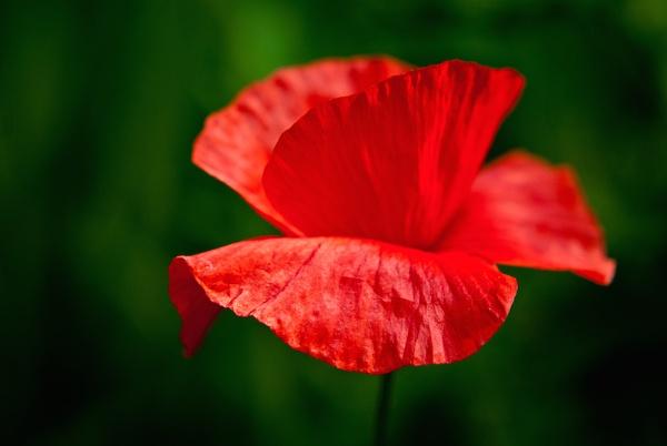 poppy by Mwande