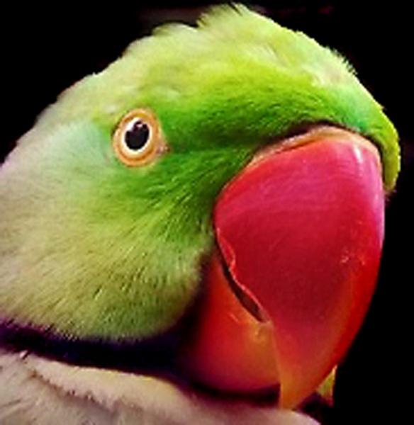 Parrot by xsophiieex06