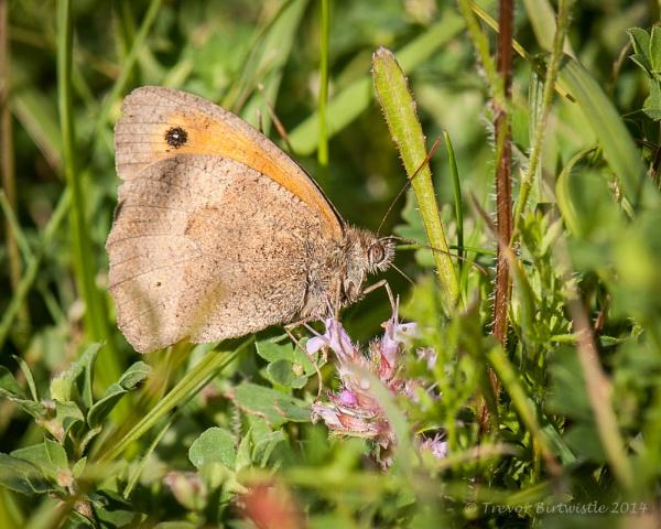 Badbury Rings Meadow Brown by Trev_B