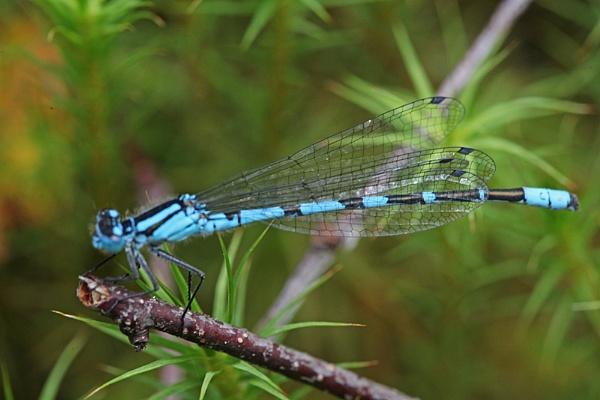 blue damselfly by adrian_w