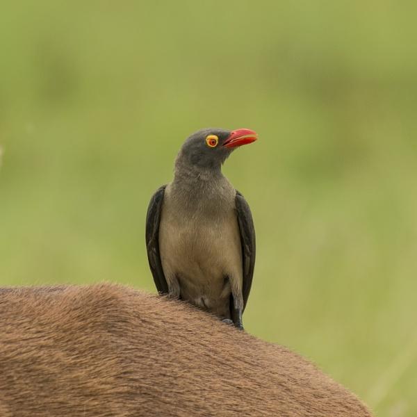 Red Billed Oxpecker by Kruger01