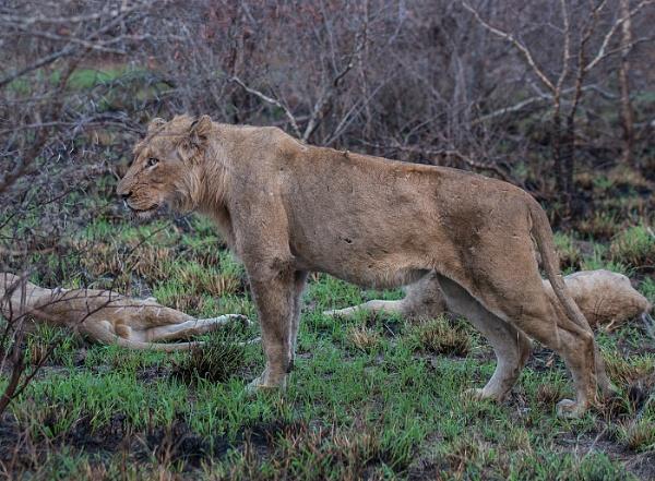 Lion by Kruger01