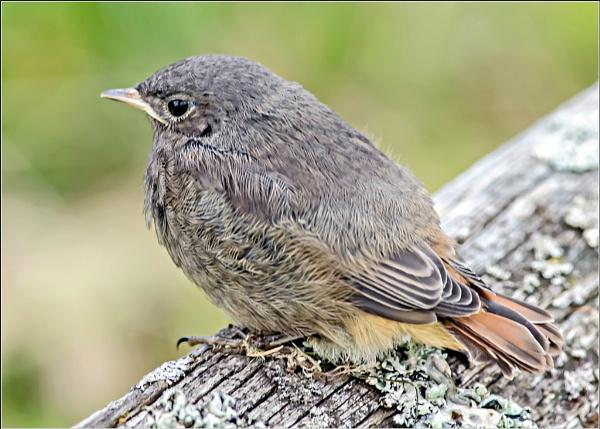 Juvenile Black Redstart by delboy85
