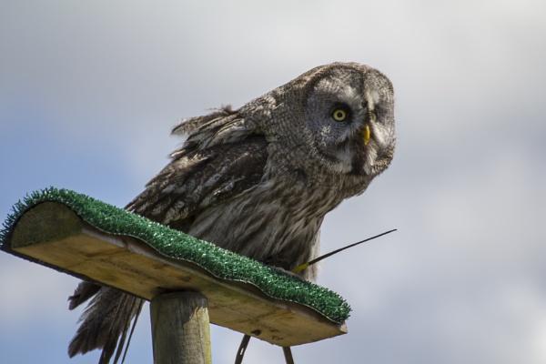 Great Grey Owl by WorldInFocus