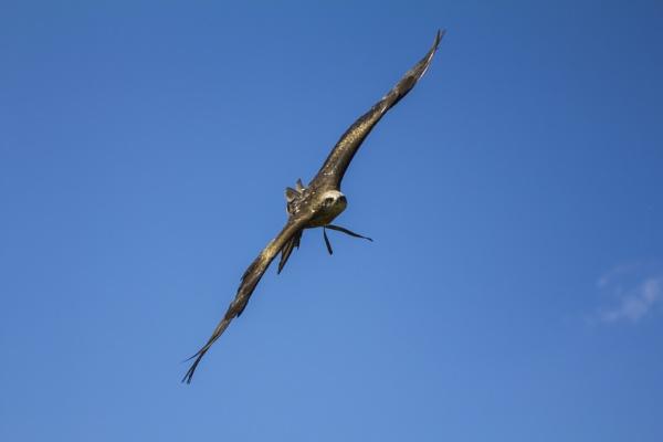 European Black Kite 1 by WorldInFocus