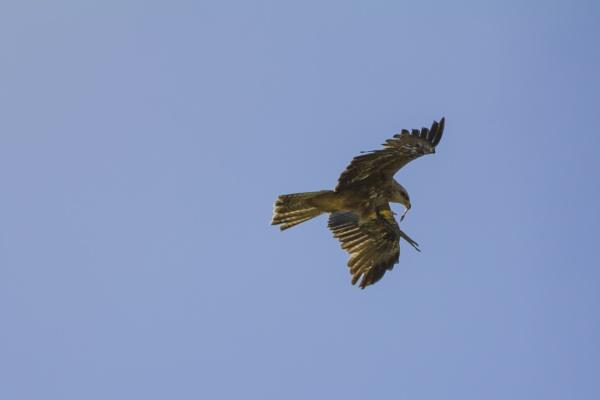 European Black Kite 2 by WorldInFocus