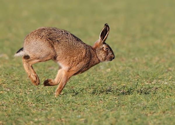 Hare by Karen_Summers