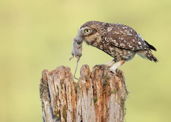 Little Owl by Karen_Summers