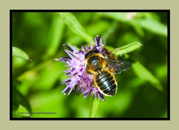 Honey bee by SmartAS