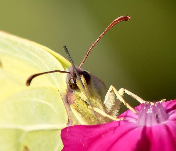 Brimstone Butterflies feeding by brian1208