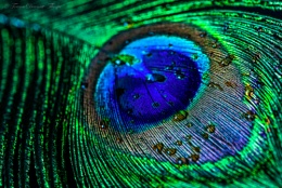 Peacock Droplets