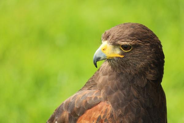 Raptor by ScottishHaggis