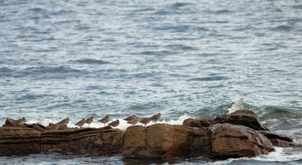 Redshank resting by ScottishHaggis
