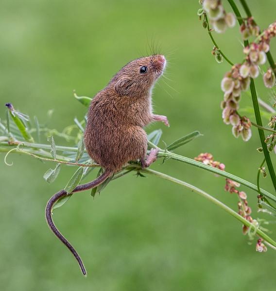 Harvest Mouse by rogerdoger